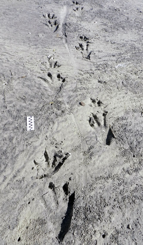 Alligator-Trackway-St-Catherines-1