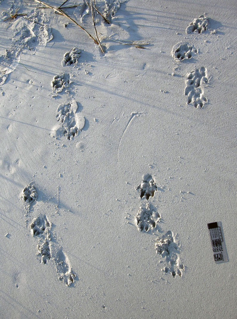 Otter-Tracks-St-Catherines