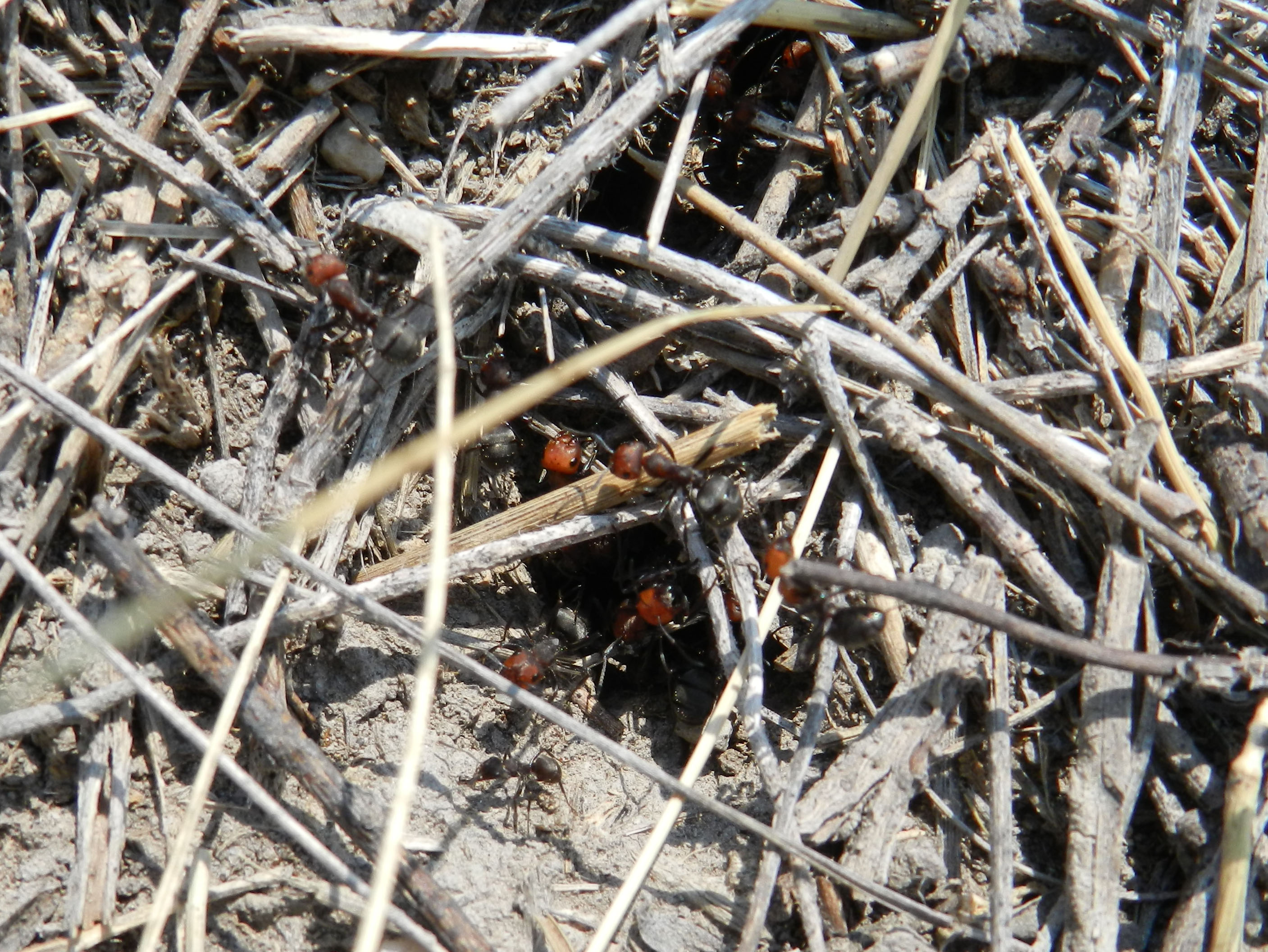 Montana-Mound-Nest-Ants-Closeup