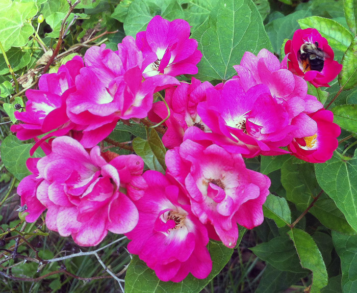 Roses-Pollination-Bee-Home