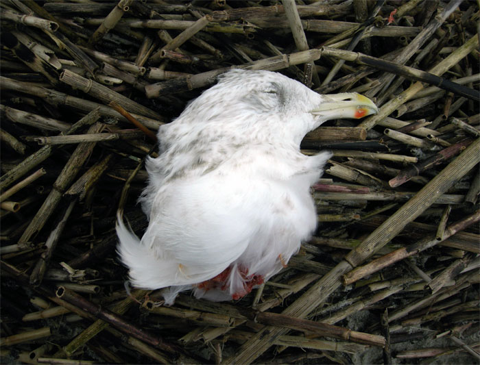 Seagull-Head-Decapitated-Wassaw