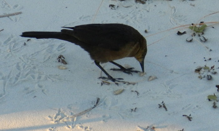 Boat-tailed-grackle-eating-sea-oats-Tybee