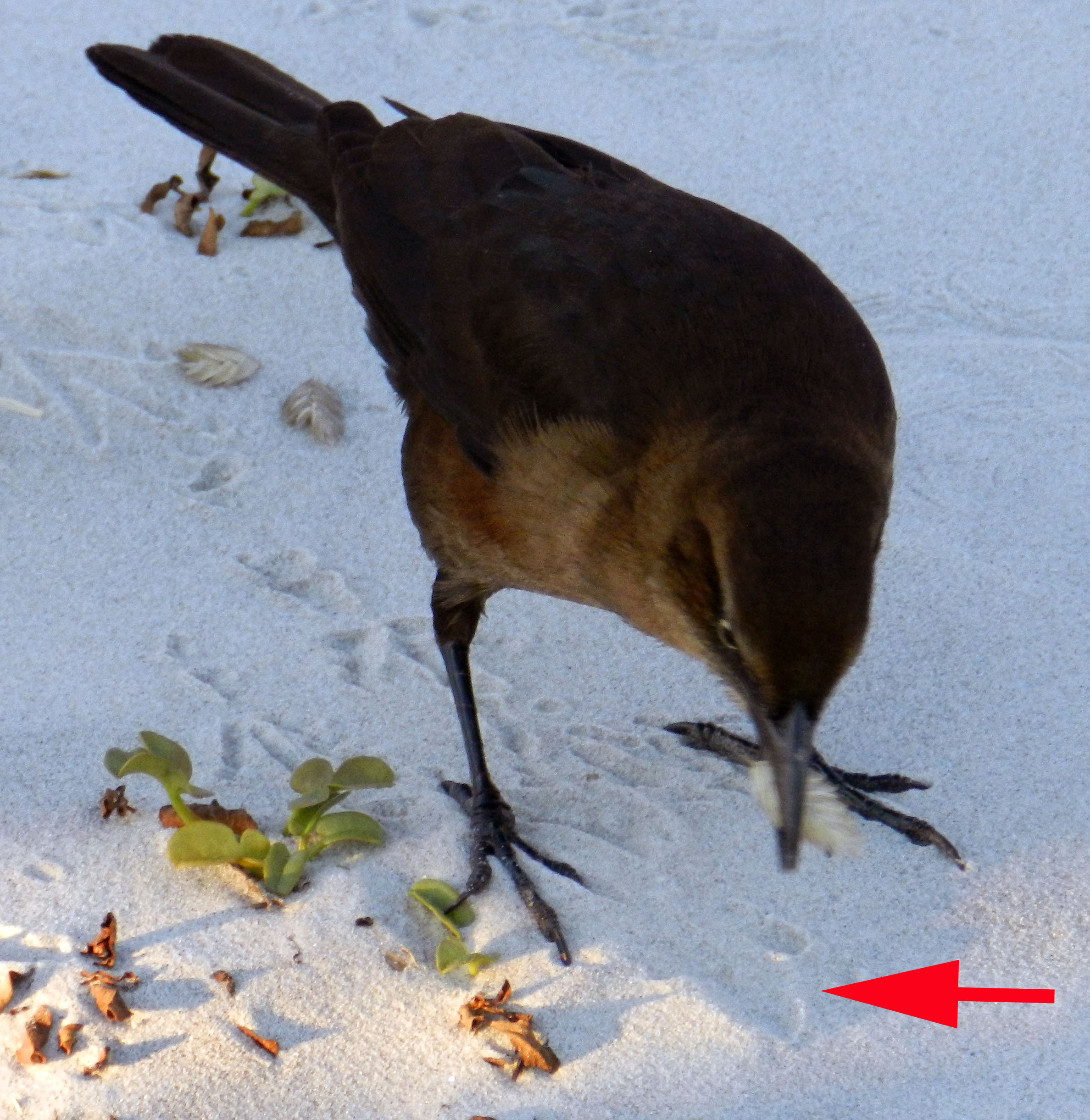 Boat-tailed-grackle-sea-oat-in-beak-closeup-trace-Tybee