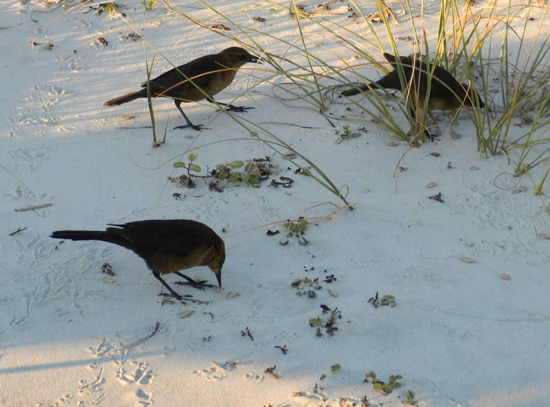 Boat-tailed-grackles-foraging-Tybee-2