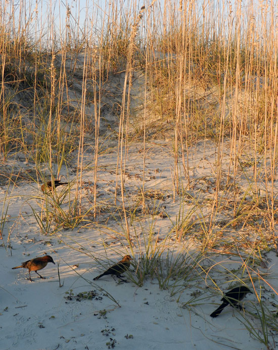 Boat-tailed-grackles-foraging-Tybee