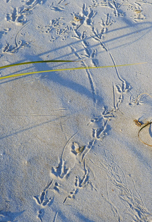 Grackle-Foraging-Tracks-Tybee-2