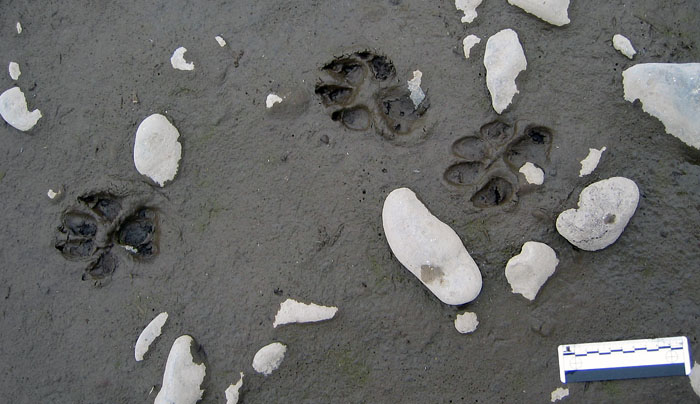 Wolf-Tracks-Lamar-Yellowstone