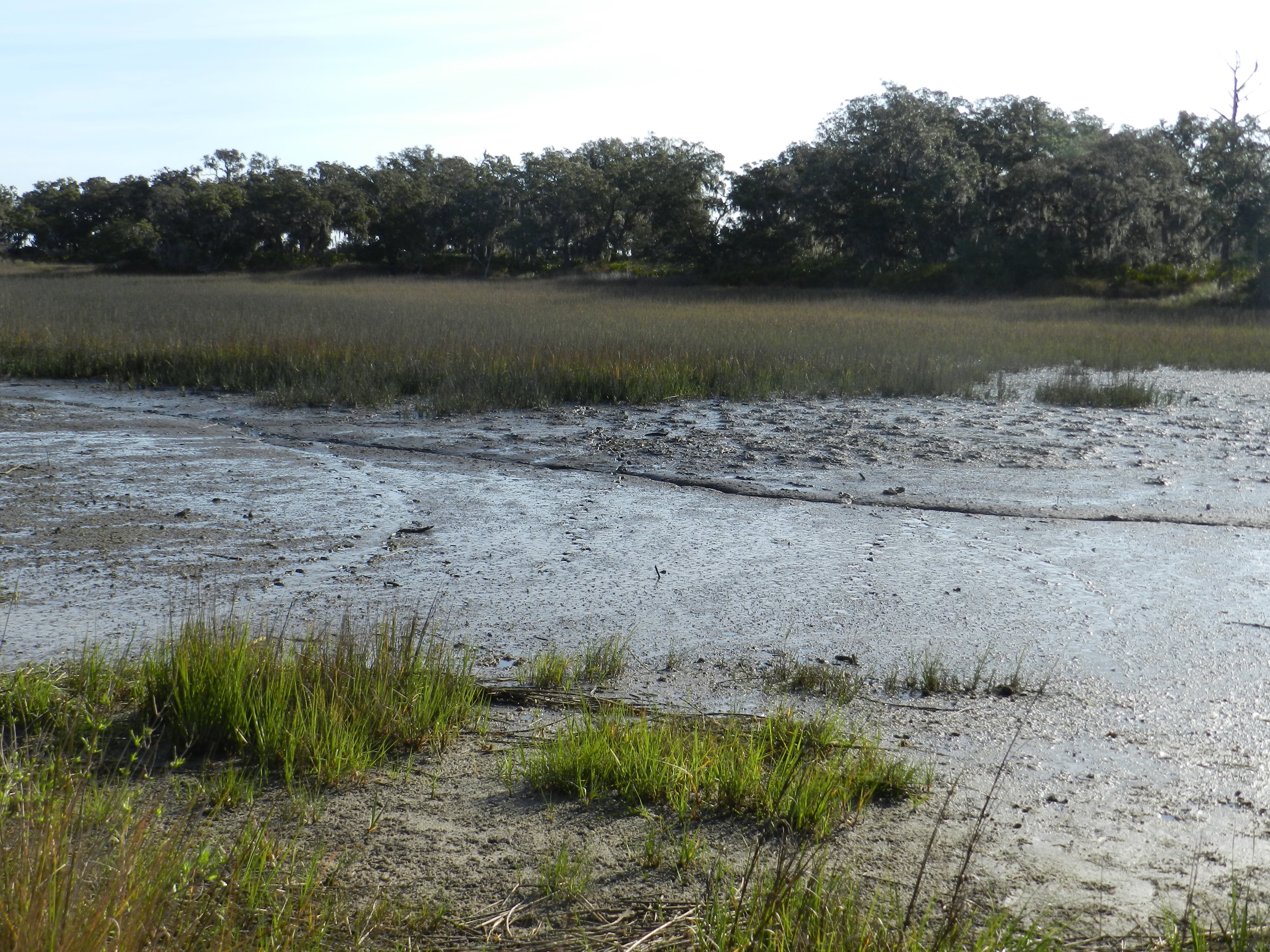 Alligator-Trackways-Marsh