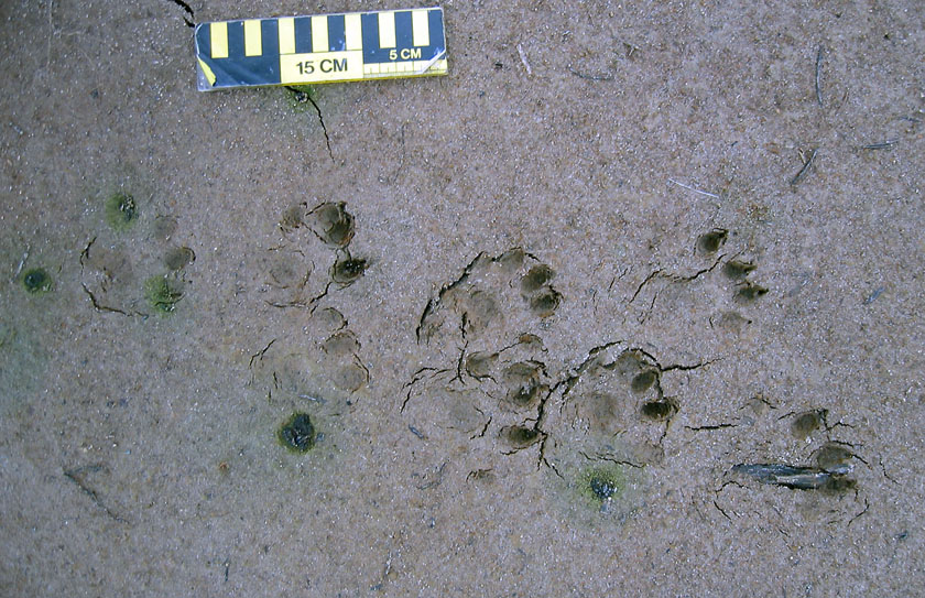 Eight-Legged-Otter-Tracks